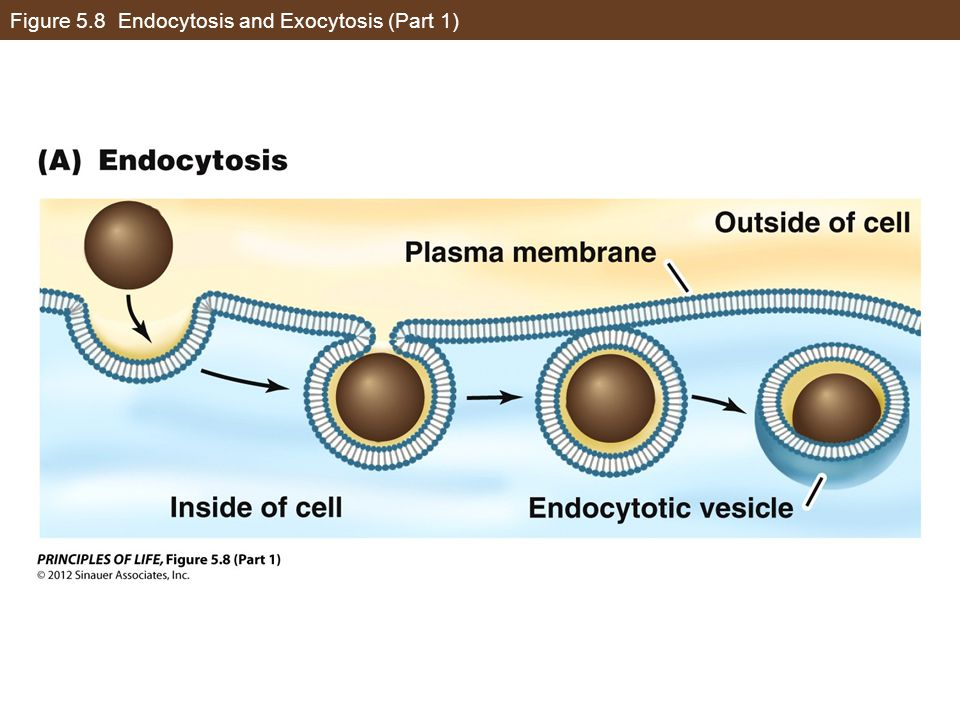 Figure 5.8 Endocytosis and Exocytosis (Part 1)