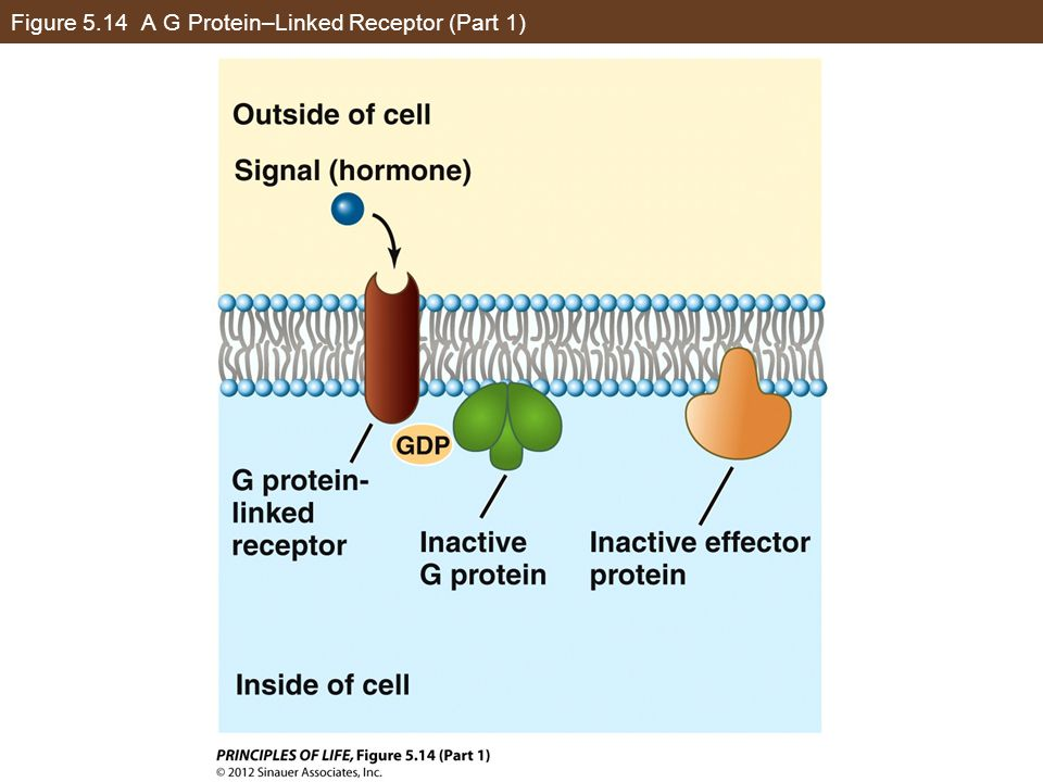 Figure 5.14 A G Protein–Linked Receptor (Part 1)
