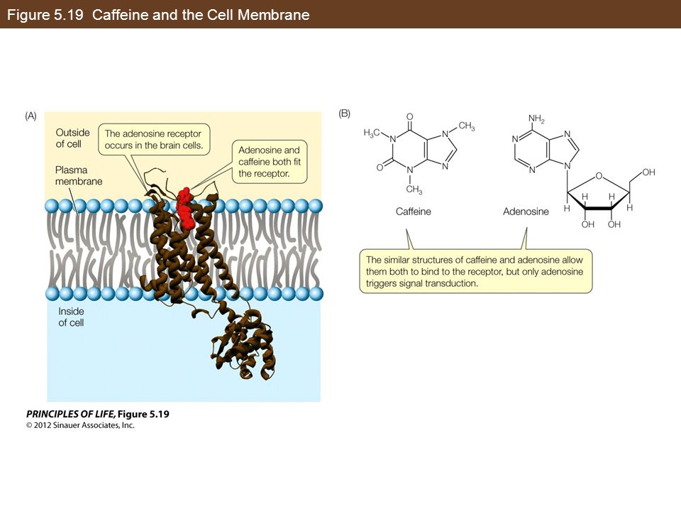 Figure 5.19 Caffeine and the Cell Membrane