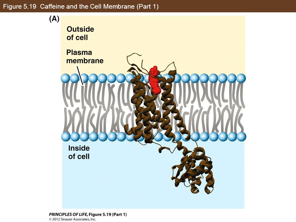 Figure 5.19 Caffeine and the Cell Membrane (Part 1)
