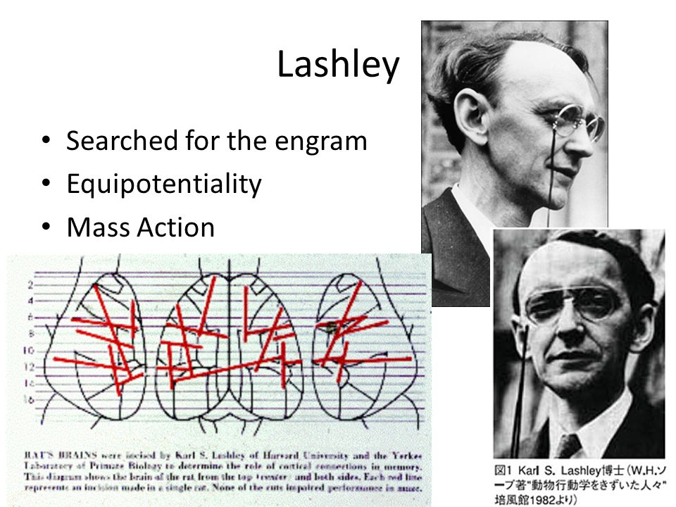 Lashley Searched for the engram Equipotentiality Mass Action