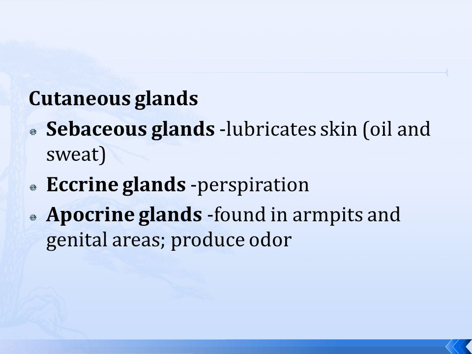 Cutaneous glands Sebaceous glands -lubricates skin (oil and sweat) Eccrine glands -perspiration.