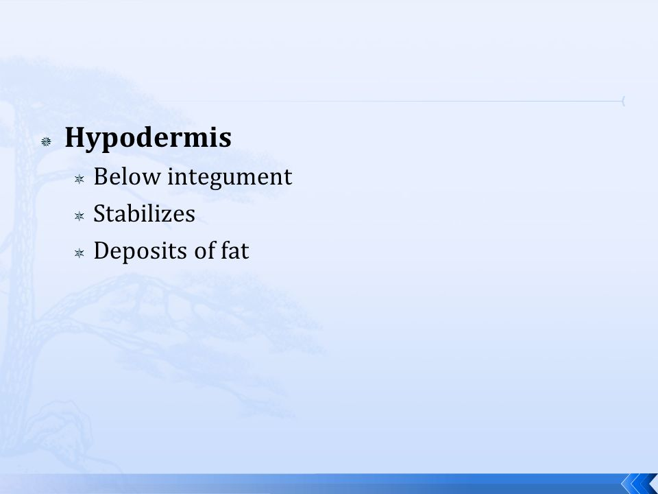 Hypodermis Below integument Stabilizes Deposits of fat