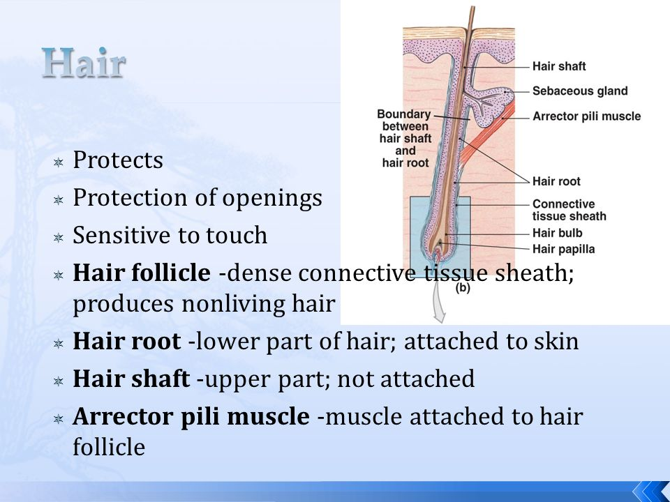 Hair Protects Protection of openings Sensitive to touch
