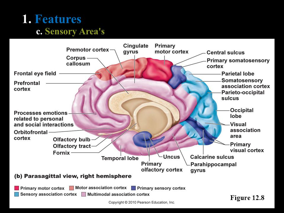 1. Features c. Sensory Area s Figure 12.8