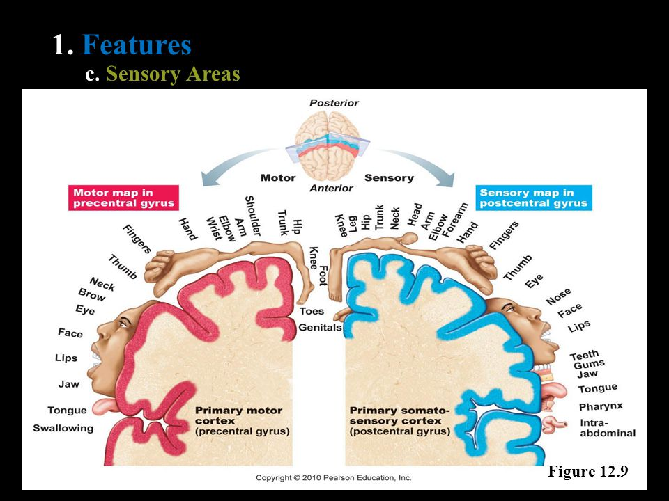 1. Features c. Sensory Areas Figure 12.9