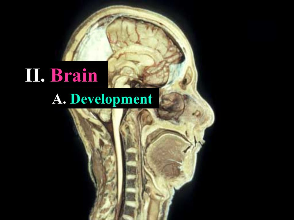 II. Brain A. Development
