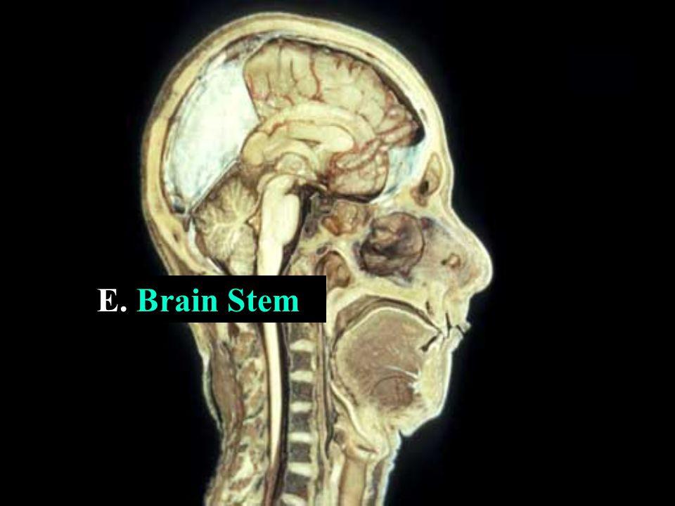 E. Brain Stem