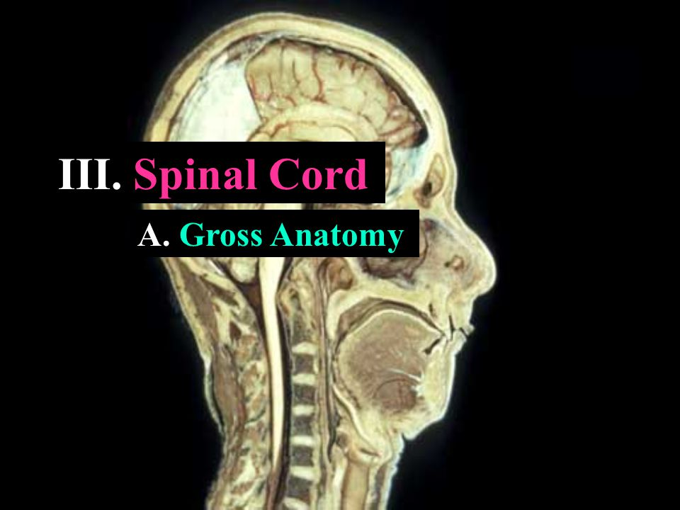 III. Spinal Cord A. Gross Anatomy