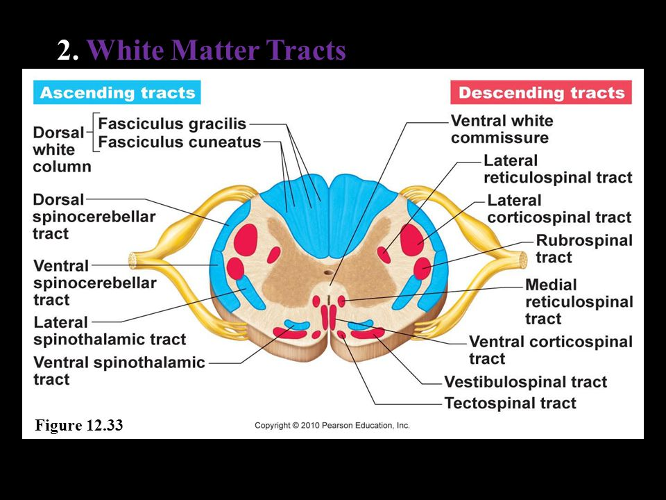 2. White Matter Tracts Figure 12.33