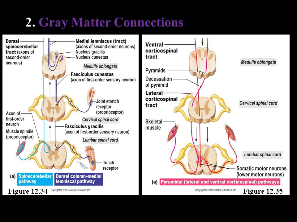 2. Gray Matter Connections