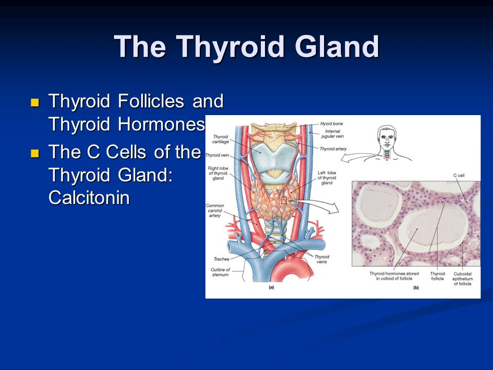 The Thyroid Gland Thyroid Follicles and Thyroid Hormones