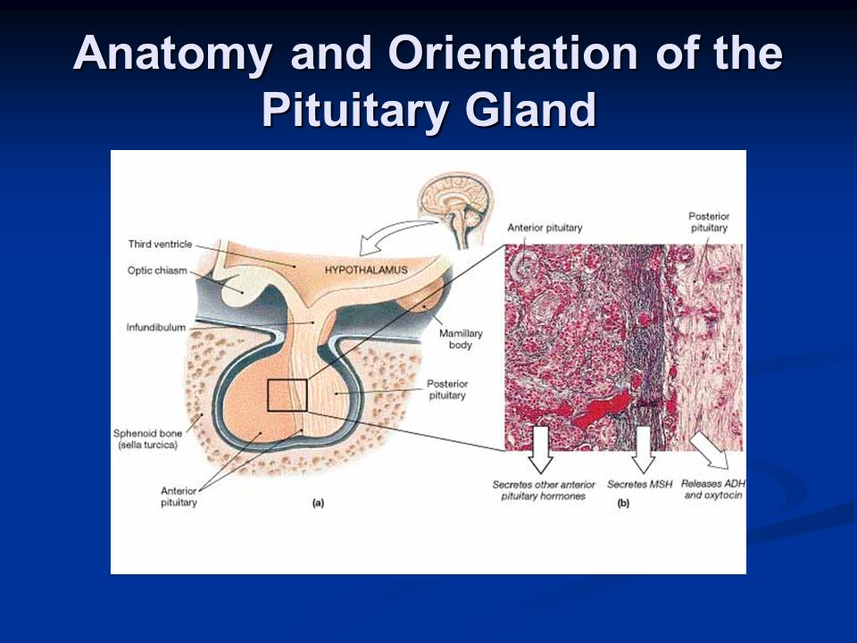 Anatomy and Orientation of the Pituitary Gland