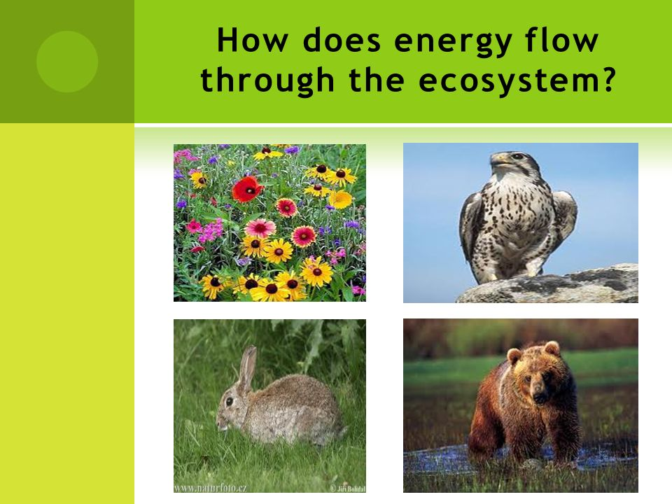 How does energy flow through the ecosystem