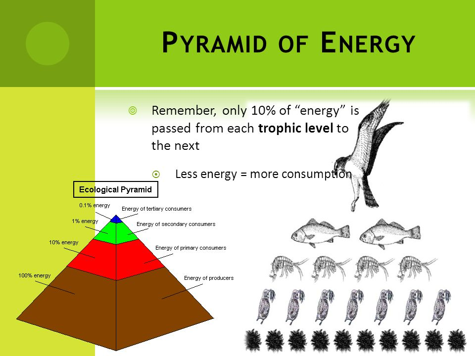 Pyramid of Energy Remember, only 10% of energy is passed from each trophic level to the next.