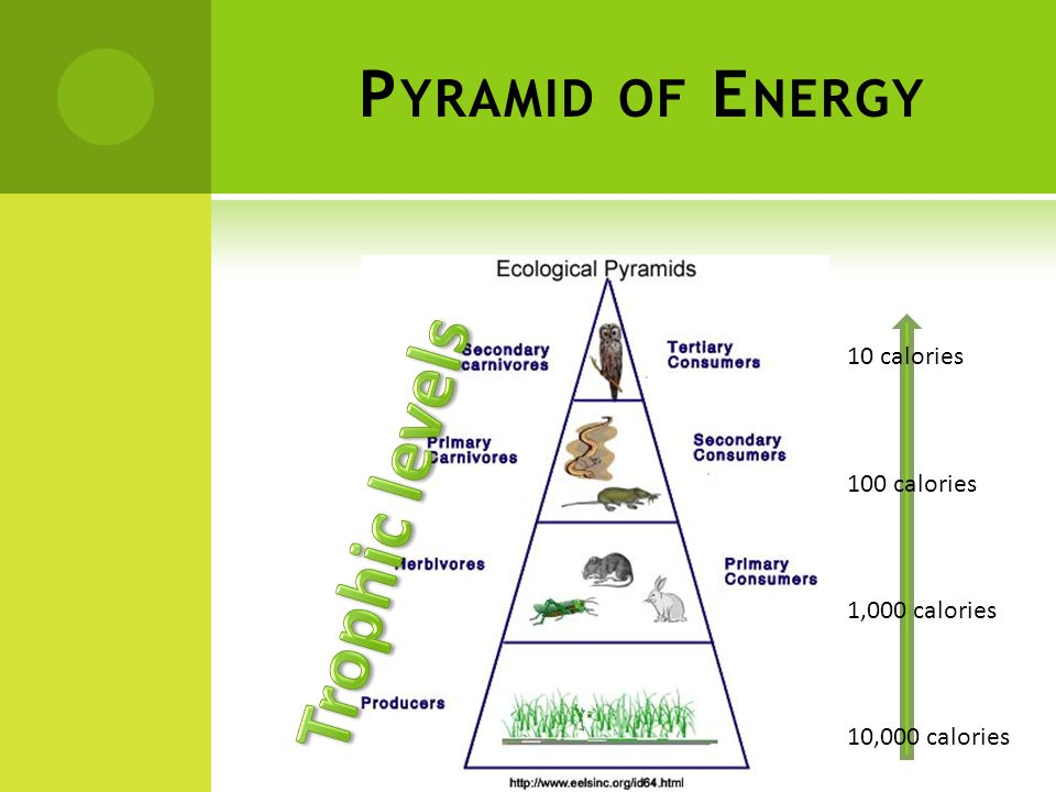 Trophic levels Pyramid of Energy 10 calories 100 calories
