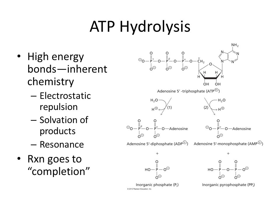 ATP Hydrolysis High energy bonds—inherent chemistry