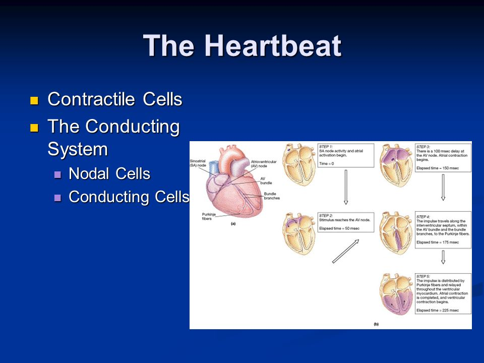 The Heartbeat Contractile Cells The Conducting System Nodal Cells