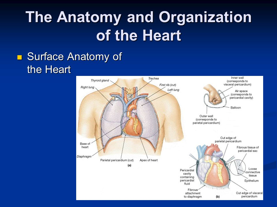 The Anatomy and Organization of the Heart