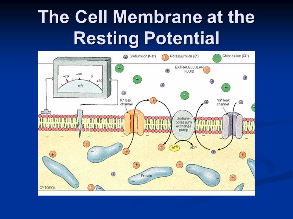 The Cell Membrane at the Resting Potential