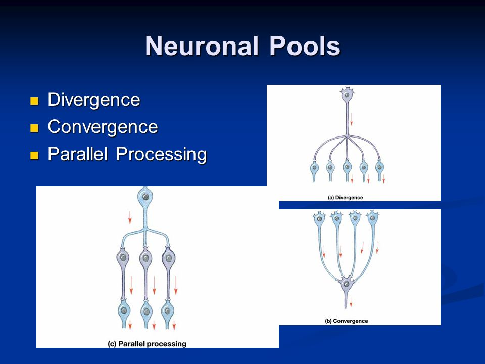 Neuronal Pools Divergence Convergence Parallel Processing