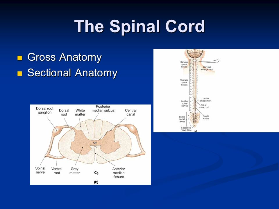 The Spinal Cord Gross Anatomy Sectional Anatomy