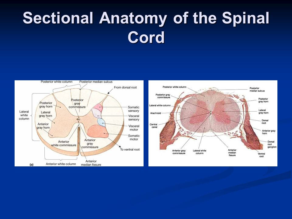 Sectional Anatomy of the Spinal Cord
