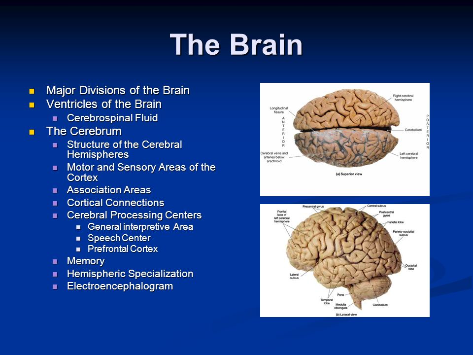 The Brain Major Divisions of the Brain Ventricles of the Brain