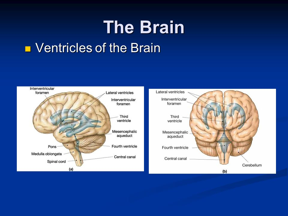 The Brain Ventricles of the Brain