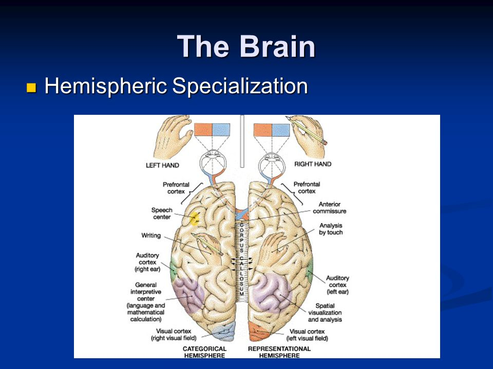 The Brain Hemispheric Specialization