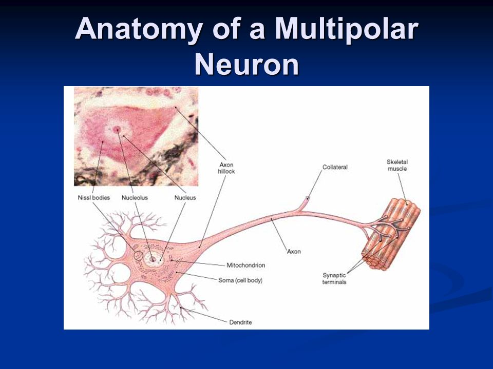 Anatomy of a Multipolar Neuron