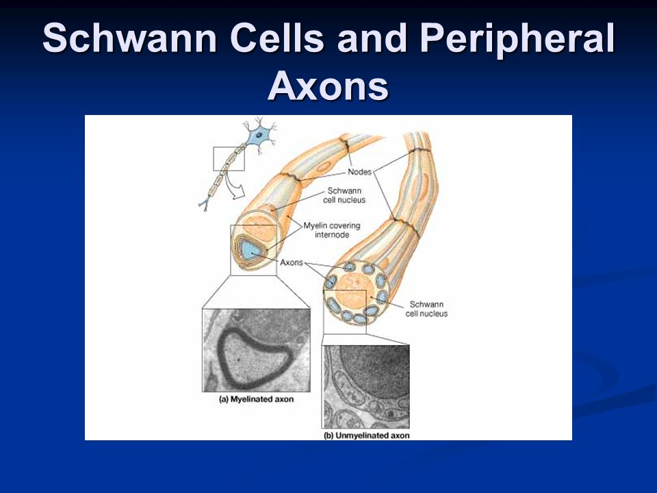 Schwann Cells and Peripheral Axons