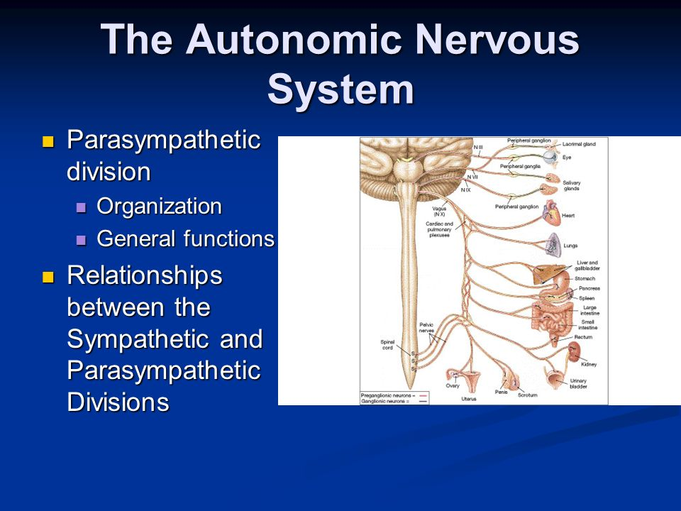 the sympathetic nervous system essay Read this essay on central nervous system and also by a division of the autonomic nervous system called the sympathetic nervous system.