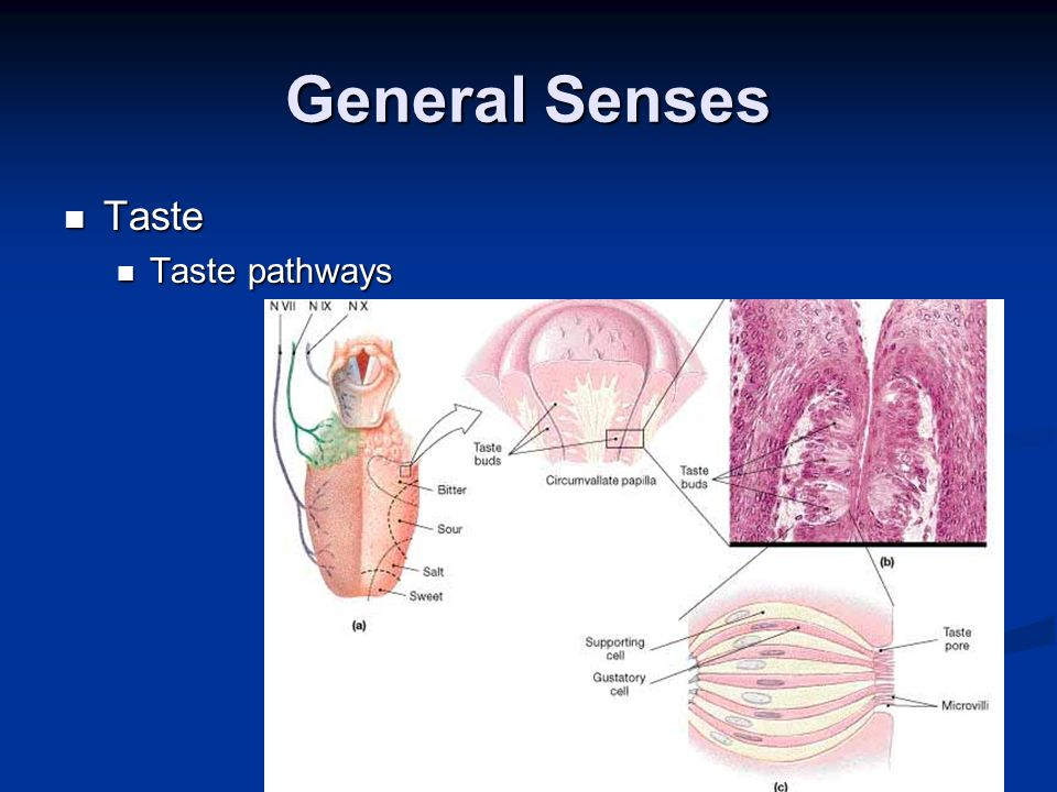 General Senses Taste Taste pathways