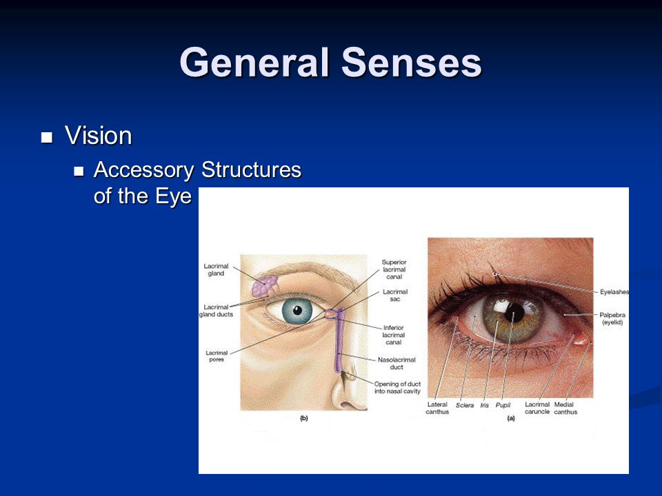 General Senses Vision Accessory Structures of the Eye