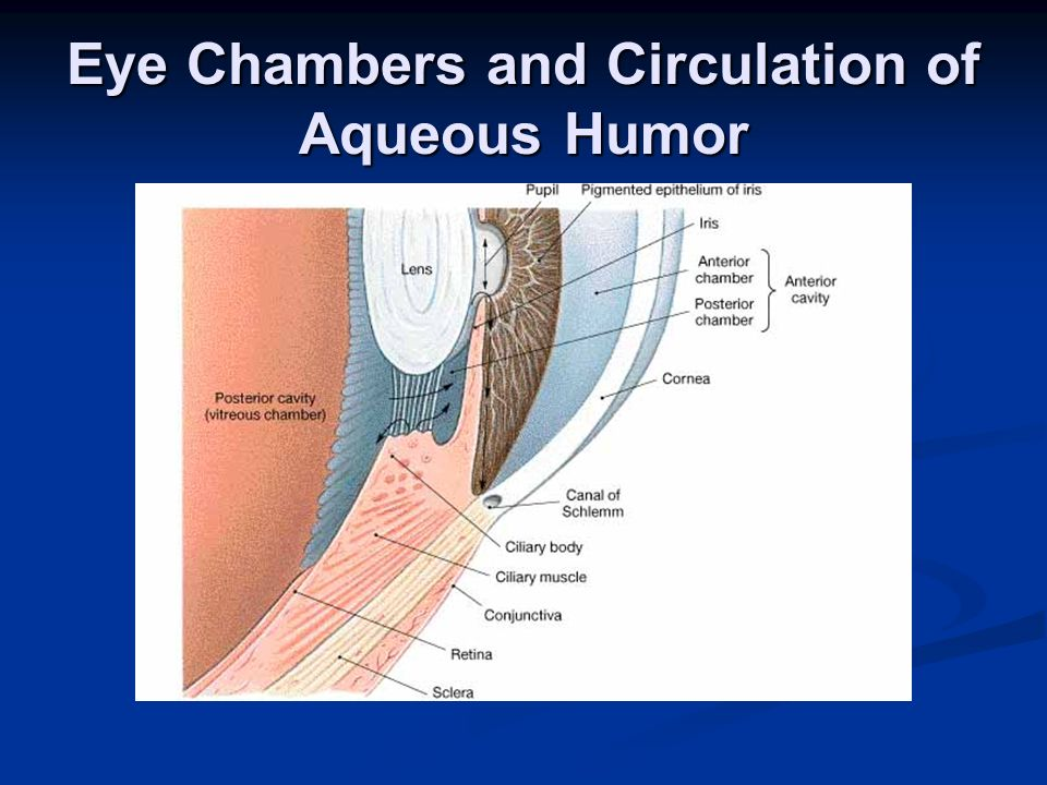 Eye Chambers and Circulation of Aqueous Humor