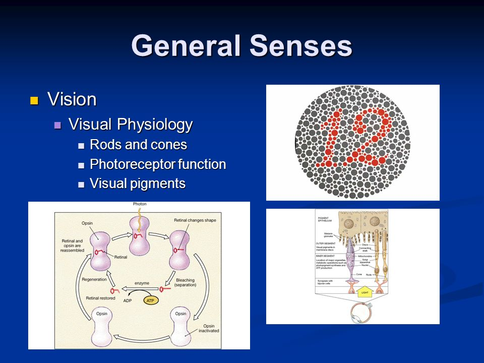General Senses Vision Visual Physiology Rods and cones