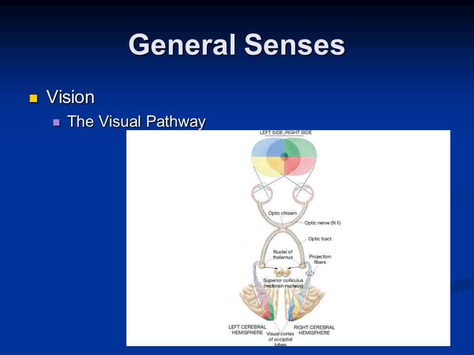 General Senses Vision The Visual Pathway
