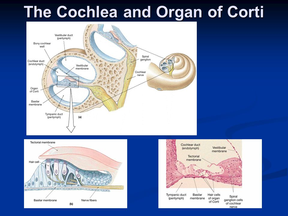 The Cochlea and Organ of Corti