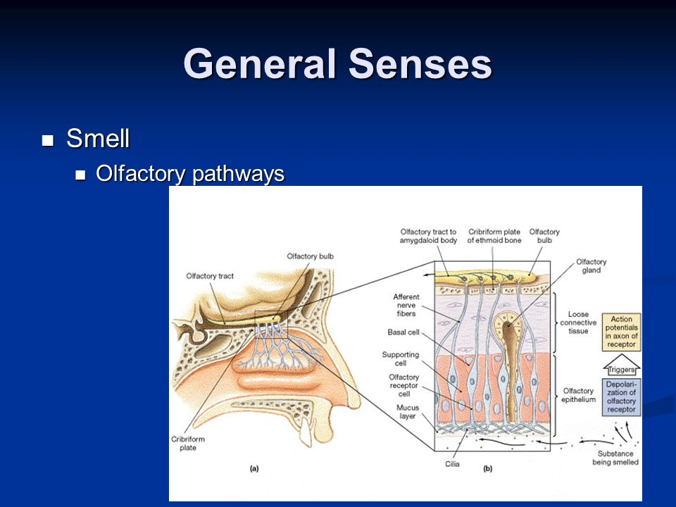 General Senses Smell Olfactory pathways