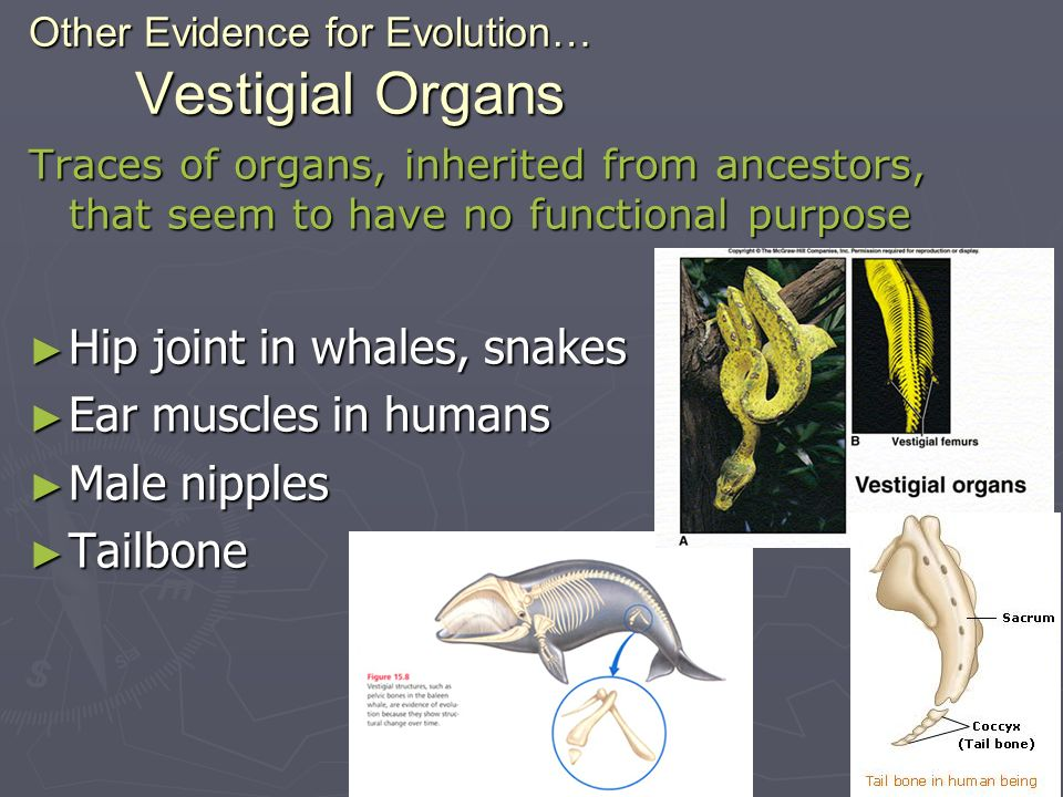 Other Evidence for Evolution… Vestigial Organs