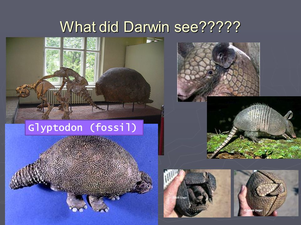 What did Darwin see Glyptodon (fossil)