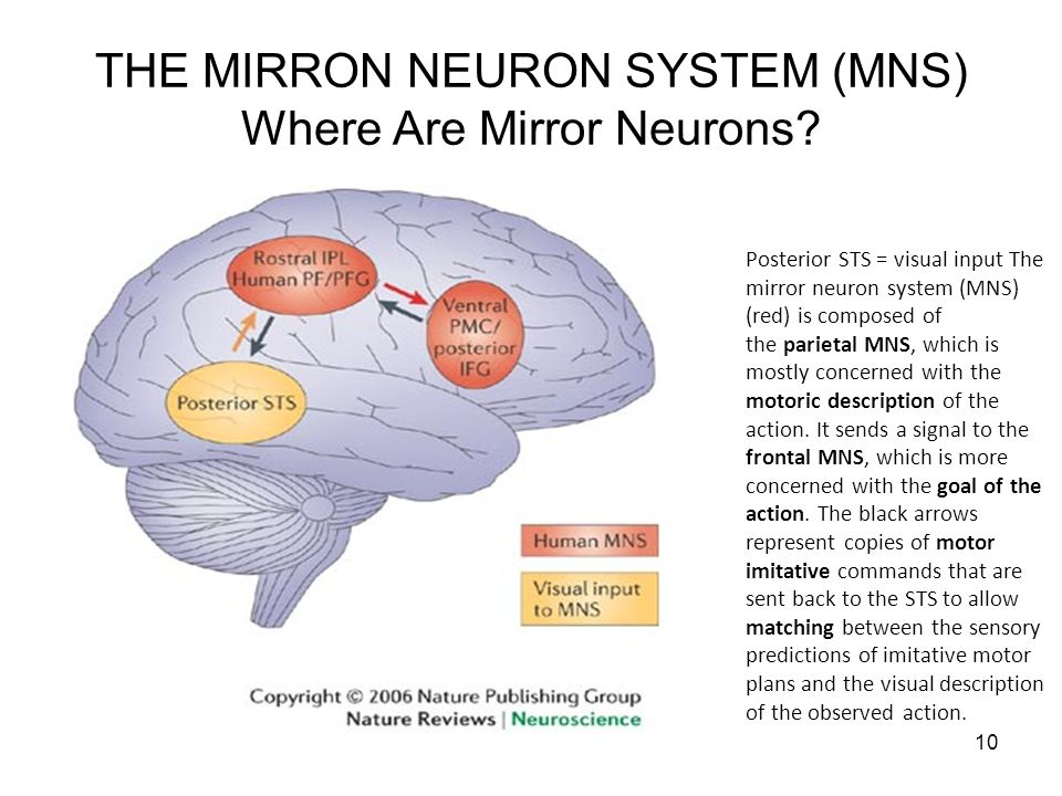 THE MIRRON NEURON SYSTEM (MNS) Where Are Mirror Neurons