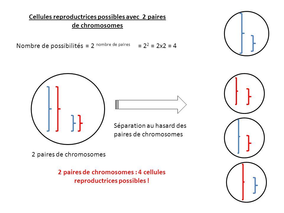 Cellules reproductrices possibles avec 2 paires de chromosomes