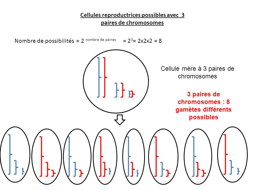Cellules reproductrices possibles avec 3 paires de chromosomes