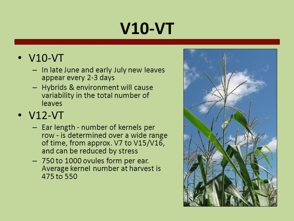 V10-VT V10-VT. In late June and early July new leaves appear every 2-3 days.