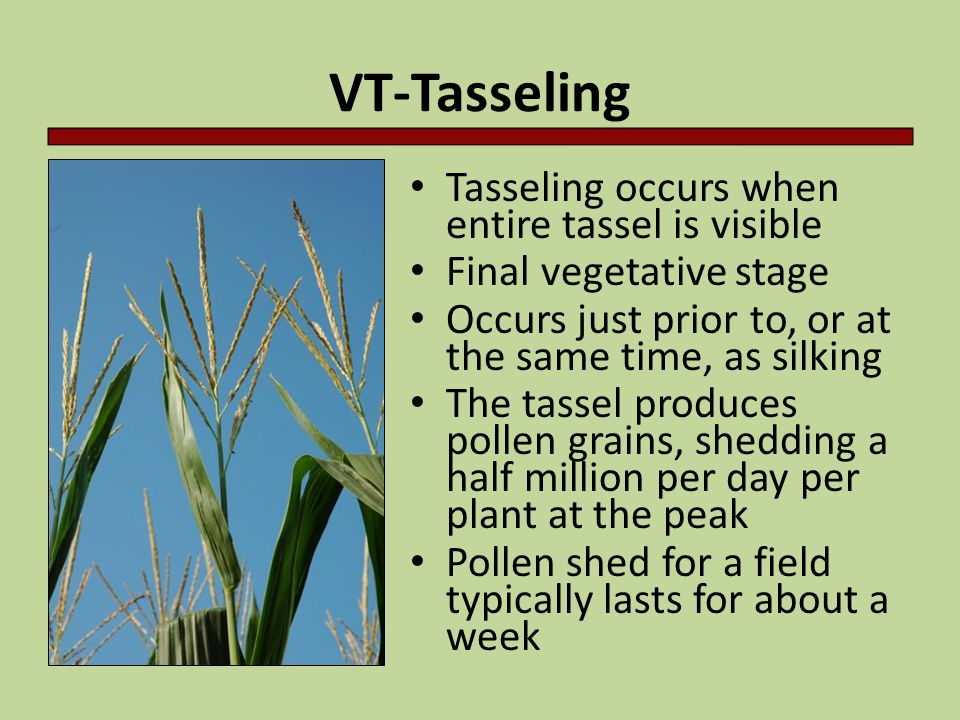 VT-Tasseling Tasseling occurs when entire tassel is visible