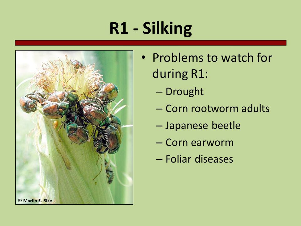 R1 - Silking Problems to watch for during R1: Drought