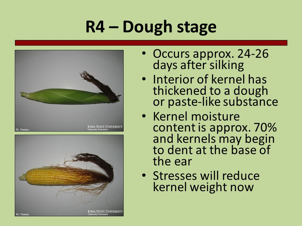 R4 – Dough stage Occurs approx. 24-26 days after silking