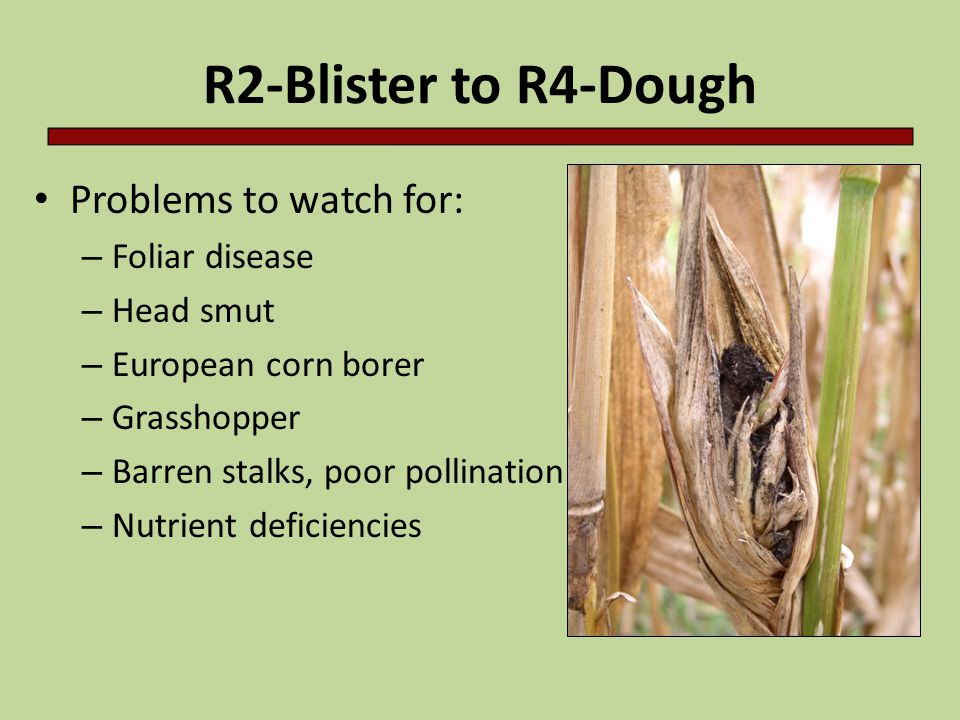 R2-Blister to R4-Dough Problems to watch for: Foliar disease Head smut